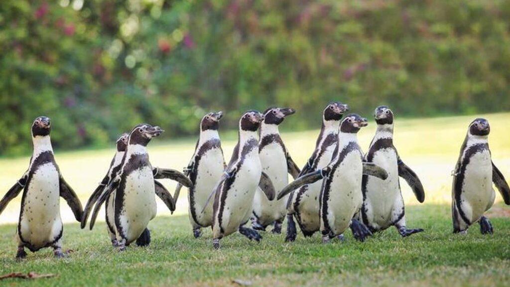 penguin parade show